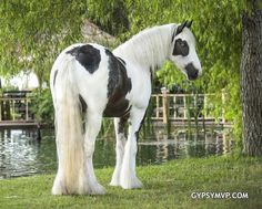 Gypsy Vanner Horses for Sale | Filly | Piebald | Abie | How gorgeous is she??!!