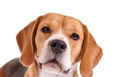 Right breed for you? Beagle information including personality, history, grooming, pictures, videos, how to find one and AKC standard.