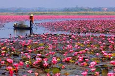 Red Lotus Lake, located in Kumphawapi, Thailand, is most beautiful in the low season between February and November, when the flowers are in full bloom. The water can only be visited on wooden boats which are hired out by the locals. This lake is also home to around 80 species of bird which includes the endangered grey heron, purple heron, and black kite.