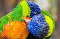 Animals Courtships Love Birds