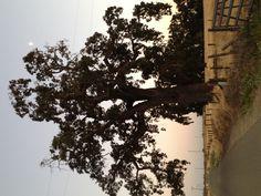 Huge, majestic California oak tree