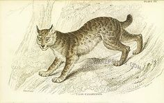 Antique print: picture of The Canada Lynx -