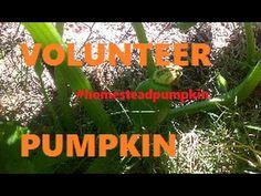 Volunteer Pumpkin  #homesteadpumpkins episode2