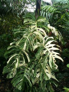 Monstera deliciosa borsigiana variegata #plantwishlist