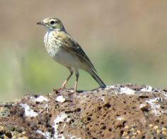 Bird Photos, Birding Sites, Bird Information: AUSTRALASIAN PIPIT, LARA, VICTORIA, AUSTRALIA, 10/...