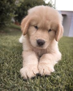 Liam the golden Retriever Puppy, Dogs Golden Retriever, Golden Retrievers, Cute Dogs And Puppies, I Love Dogs, Doggies, Animals And Pets, Baby Animals, Cute Animals