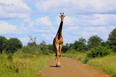 Go on a safari in Kruger Park, South Africa.the Houston zoo just doesn't entice me very much and I hate seeing them in cages Houston Zoo, Kruger National Park, My Person, Beautiful Love, Places Ive Been, South Africa, Giraffe, Safari, Hate