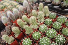 """Put on your gloves, here come Cactus! Potted 2"""" and a few crested types in their 3.5"""" containers, they make great pets, just don't pet 'em! TheSucculentSource"""
