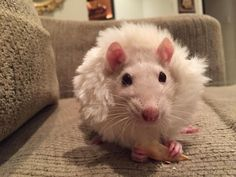The lion king (or a rat wearing a scrunchie) Animals And Pets, Baby Animals, Fluffy Animals, Rats Mignon, Les Rats, Dumbo Rat, Cute Animals With Funny Captions, Fancy Rat, Cute Rats