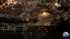 Tokyo, Japan. Photo by Karolina Bober. #tokyo #tokio #japan #japonia #azja #asia #cspa #bober #asian #japanese #2016 #spring #wiosna #flowers #park #cherry #cherryblossoms #blossoms #nature #natura #wiśnia #travel #podróż #amarofilter #polishgirl