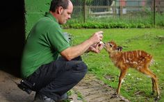 A baby sitatunga at ZSL Whipsnade Zoo is bottle-fed by her keeper, Craig White. Seven-week-old Chloe, named after Craig's daughter, is being given the milk by keepers to supplement the milk she's already getting from mum