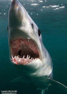Mako shark - by Chris Fallows