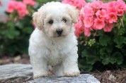 Max – Bichon Frise Puppy  #bichon  #bichonfrise
