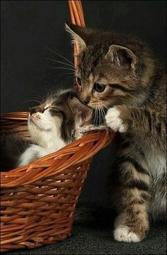 Cute kitten kissing its sibling who's taking a nap in a basket (hva)