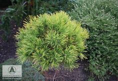 Pinus mugo 'Jalubi' - Sosna górska 'Jalubi'