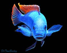A beautiful Mbuna from Lake Malawi in Africa. To see more click on ... http://www.AquariumFish.net/catalog_pages/cichlids_african/cichlids_african_mbunas.htm#top2