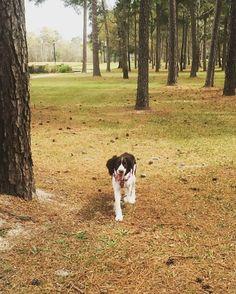 The longest dog tongue ever!  #springerspaniel #springersofinstagram #doglover #dogsofinstagram #springerspanielsofinstagram #englishspringerspaniel