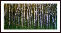 'Birch Trees' by Debra Bucci Framed Print of Painting