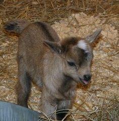 Deanna Rose Farmstead Baby Goat Blanket Drive