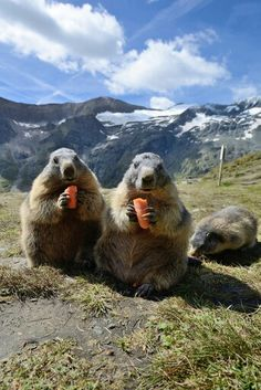 Getting their daily dose! #cuteanimals #Marmots facebook.com/sodoggonefunny