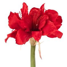 Natural Decorations, Inc. - Amaryllis Dark Red  | BOX OF 6