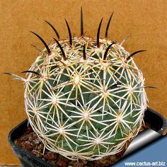 CORYPHANTHA cornifera - Поиск в Google