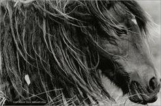 One of Roberto Dutesco's amazing photos of the wild horses of Sable Island