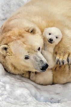 Polar  ear & Cub