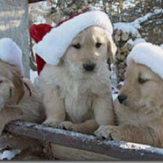 Puppies - Cute Christmas Golden Retriever photo
