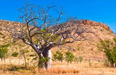 The Kimberly region in northern WA... Red rocks, boab trees, carnivorous reptiles... Beauty.
