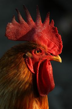 little red rooster by mik105, via Flickr