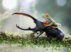 Frosch auf Hirschkäfer