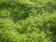 Πολυετής πόα, αυτοφυής στην Ελλάδα, συναντάται σε θαμνότοπους και δάση, με τετραγωνικό πολύκλαδο βλαστό 0-80 cm και ευμεγέθη, ωοειδή, πριονωτά, αντίθετα φύλλα. Τα φύλλα του έχουν ένα χαρακτηριστικό άρωμα λεμονιού που είναι απαλό και καταπραϋντικό κάτι που είναι ιδανικό, μιας και το φυτό φαίνεται να έχει την τάση να αυξάνεται κοντά σε κατοικίες.