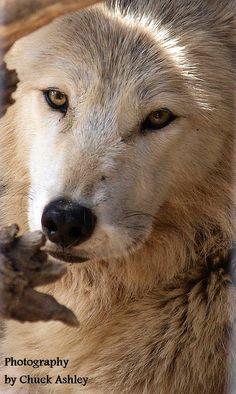 ☀Fur-ever Wild Wolves