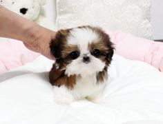 Small Puppies, Cute Dogs And Puppies, Baby Dogs, Small Dogs, Doggies, Shitzu Puppies, Teacup Puppies, Teacup Shih Tzu, Lab Puppies