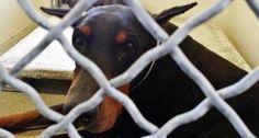 Heartbroken Doberman Cries When Owner Surrenders Him To Shelter