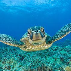 Kohala Coast, Hawaii - Best Places to See Sea Turtle Hatchlings - Coastal Living Sea Turtle Nest, Baby Sea Turtles, Tiny Turtle, Turtle Love, Small Turtles, Turtle Bay, Sea Turtle Wallpaper, Reptiles, Amphibians