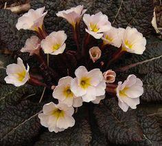 Primula vulgaris 'Drumcliffe' Climbing Hydrangea, Wall, Plants, Flowers, Flora, Plant, Planting