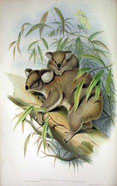 Koala, Phascolarctos cinereus, coloured lithograph, J. Gould, Mammals of Australia, London, 1863.