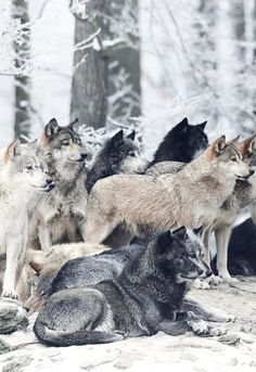 Los lobos son animales carnívoros y en general cazan animales grandes, pero los lobos también irán a la caza de animales más pequeños si están necesitados de su comida diaria . Los lobos cazan juntos y trabajan juntos como un equipo con el fin de atrapar y matar a un animal grande como el alce y el ciervo.