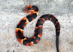 Broad Banded Water Snake (Nerodia fasciata)SE USA