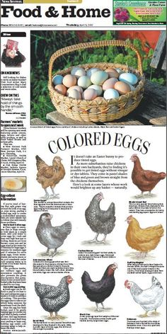 Knoxville News Sentinel artist Don Wood created this design for our Food & Home front today about the variety of colored eggs produced by different breeds of chickens. Wood drew each chicken by hand. Different colored eggs from different chicken breeds. The Farm, Chicken Life, Chicken Eggs, Chicken Breeds For Eggs, Chicken Egg Colors, Easter Egger Chicken, Keeping Chickens, Raising Chickens, Training Tips