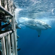 Go nose-to-nose with a great white off Baja's Guadalupe Island, where shark sightings are all but guaranteed