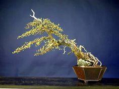 Larnix laricina root-over-rock