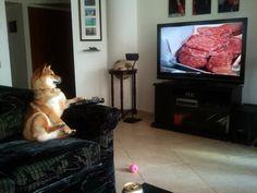 Hungry Shiba Inu watching food network on TV