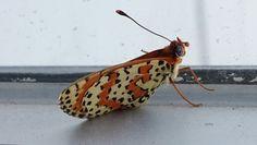 Kelebek Leopar :)