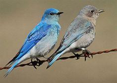 Image result for female mountain bluebird