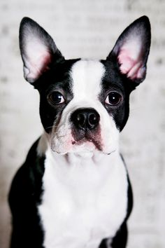 All About Friendly Boston Terrier Puppies Grooming Boston Terrier Temperament, Brindle Boston Terrier, Red Boston Terriers, Boston Terrier Love, Terrier Breeds, Terrier Puppies, Dog Breeds, I Love Dogs, Cute Dogs