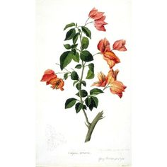 Botanical Flower Bouganville found on Polyvore