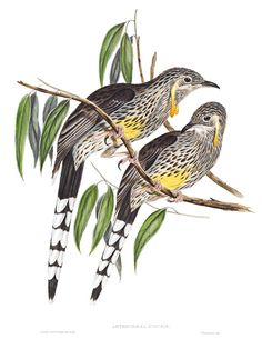 GREAT WATTLED HONEY-EATER - Anthochaera inauris (Formerly: Dyottornis paradoxa) Now: Yellow Wattlebird, Long Wattlebird or Tasmanian Wattlebird - Anthonhaera paradox -  painted and lithographed by John & Elizabeth Gould from Birds of Australia, London 1840-48.